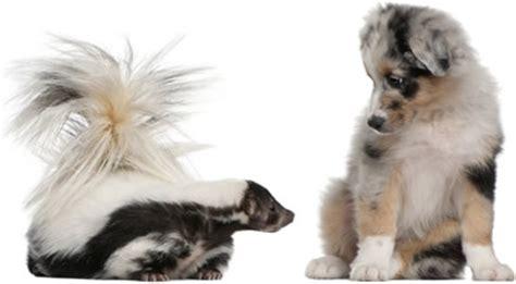 how to get skunk out of fur german shepherd skunked how to get skunk out of a