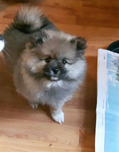 toys for pomeranian beautiful pomeranian puppie manchester greater manchester pets4homes