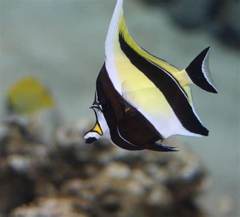 cool looking moorish idol a really cool looking fish nathan rupert