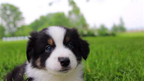 mini australian shepherd puppies ohio mini aussies of ohio the best aussie puppies