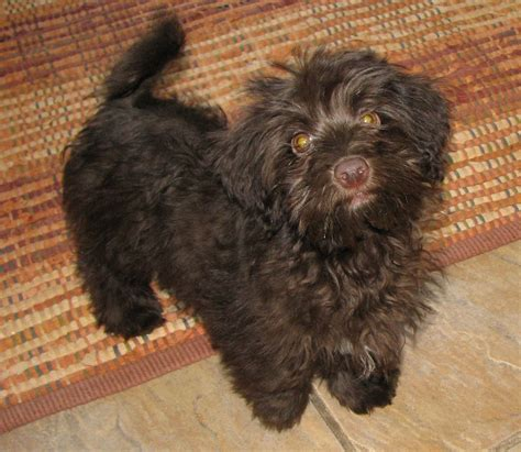 chocolate havanese puppies chocolate havanese puppy for sale breeds picture