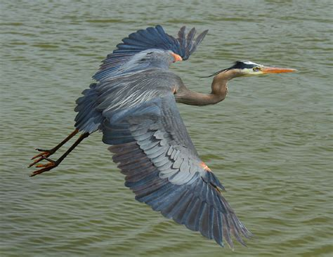 heron meaning blue heron wallpapers backgrounds