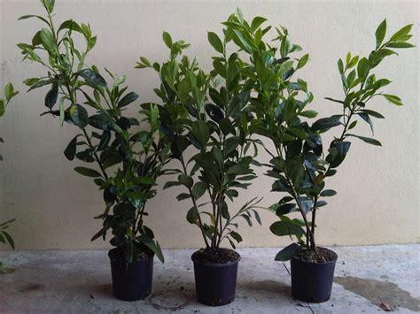 lauroceraso in vaso lauroceraso prezzi piante da giardino costi
