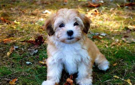 lifespan of havanese havanese pictures on animal picture society