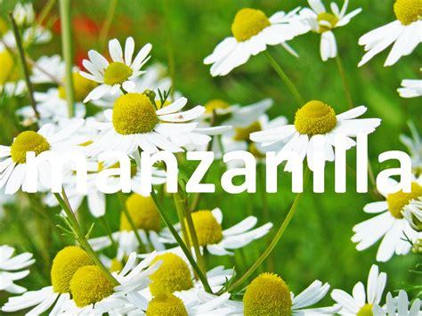 imagenes de flores medicinales plantas medicinales la manzanilla youtube