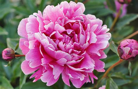 Vs Pink Flower how to grow and care for peony the garden