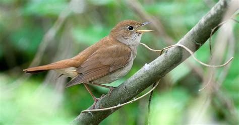 Nxedge Sytle Nightingale Asia three more bird species been listed and could soon become extinct a report by the