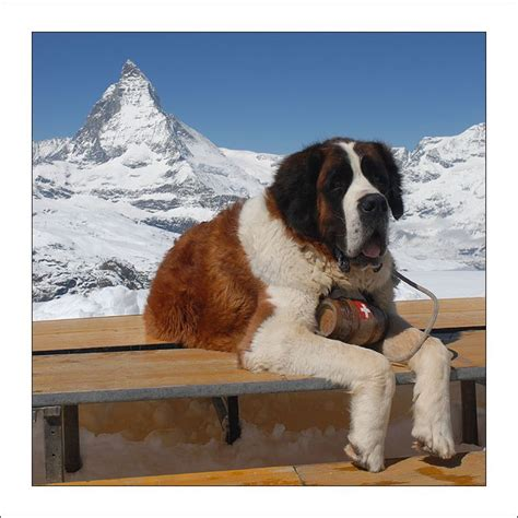 st bernard puppies rescue 28 best images about swiss dogs on a staff