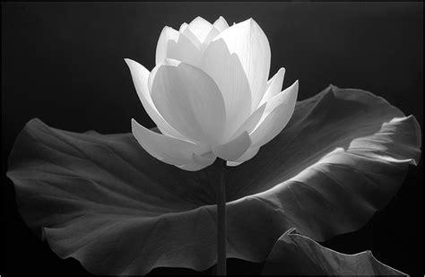 black n white black n white flower by killerwolf365 on deviantart