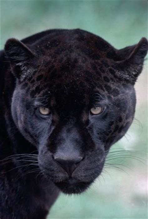 all black jaguar best 25 black jaguar ideas on jaguar