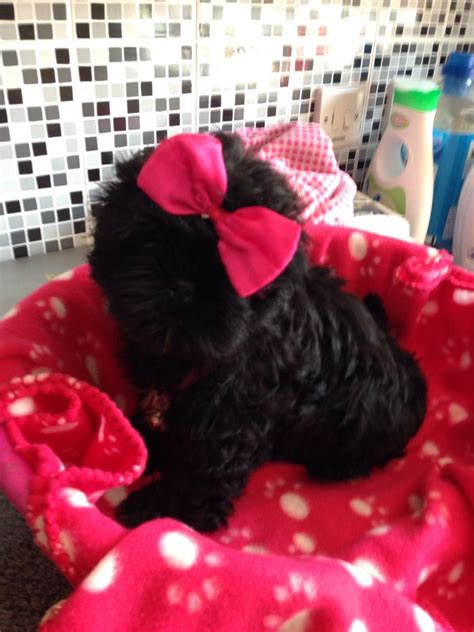 shih tzu hull shih tzu pups hull east of pets4homes