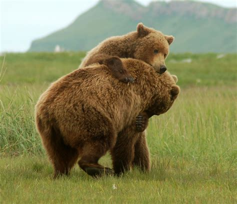 bear s grizzly bear social behavior grizzly bear blog page 2