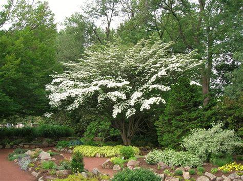 file kousa dogwood tree elizabeth park west hartford ct