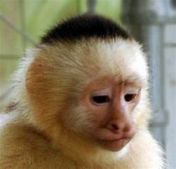 capuchin monkey habitat memes
