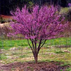 cercis canadensis ace of hearts 174 treetyme