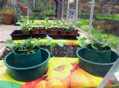 Planting Tomatoes Into Grow Pots In My Greenhouse   YouTube