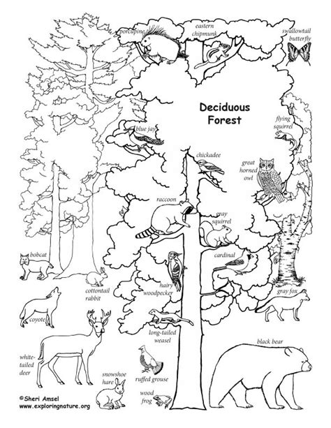 deciduous forest animals labeled coloring nature