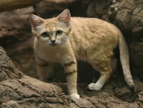 Scientific Name For House Cat by 9 Things You Didn T About The Sand Cat Mnn