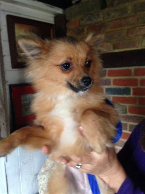 pomeranian 5 months 5 month pomeranian needs a loving new home chesham buckinghamshire pets4homes
