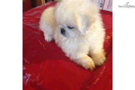 pekingese puppies for sale in nc white boy pekingese puppy for sale near carolina 6cd3d143 5671