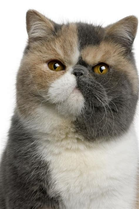cat breed different cat breeds search engine at search