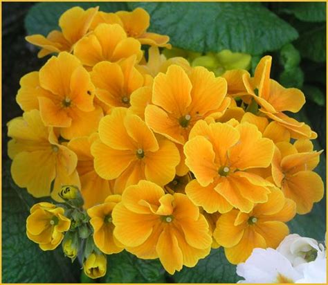 images flowers polyanthus images