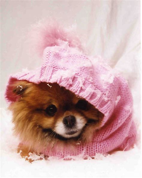 pomeranian clothes everything yours pomeranian clothes