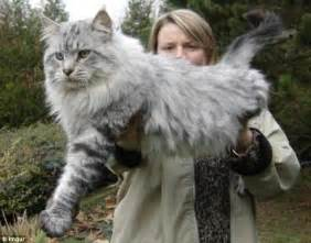 American maine coons weighing up to 35ibs become internet hit daily