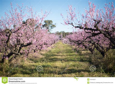 beautiful cherry blossom in australia stock image image