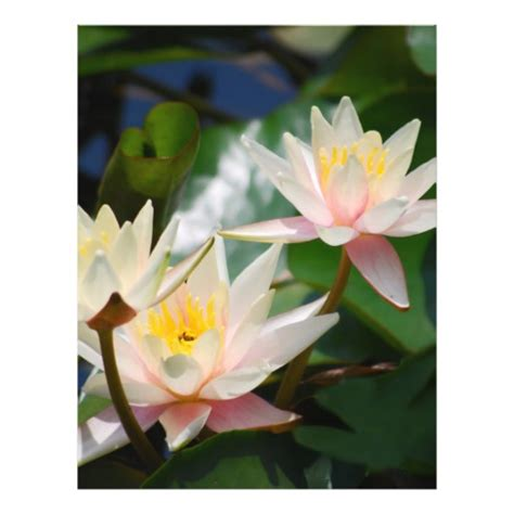 lotus flower color meaning lotus flower and meaning color flyer zazzle
