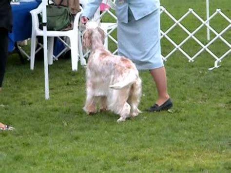 english setter dog show english setters being shown sammamish kc dog show 8 29 10