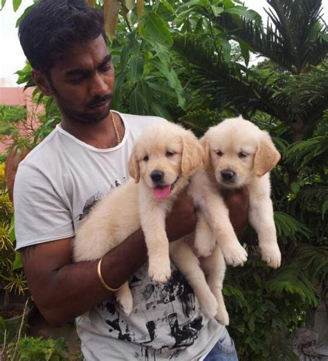 golden retriever puppies for sale in chennai golden retriever puppies for sale k kamal 1 12367 dogs for sale price of puppies