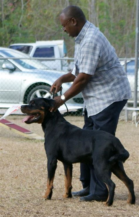 juffther rottweilers billy a top rottweiler in barbados dogs in barbados