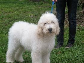 pug breeders in central florida puppies for sale goldendoodles in central florida breeds picture