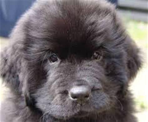 newfoundland puppies cost the price of a newfoundland about doggies
