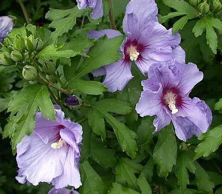 althea plant common name bluebird of shrub althea plant type shrub flower color nearly