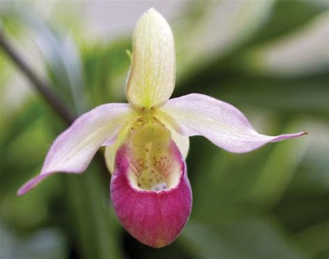ladys slippers lady s slipper orchid flower facts endangered species