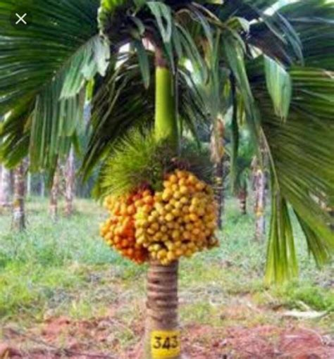 Hiasan Tanaman Import jual bibit buah pinang thailand import di lapak barokah jambi barokah 77