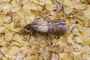 What Do Pantry Moths Eat by Larvae In Your Lunch A Gross Reason To Avoid