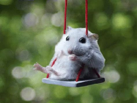 swing gif hamster on swing gif hamster hamsterswinging