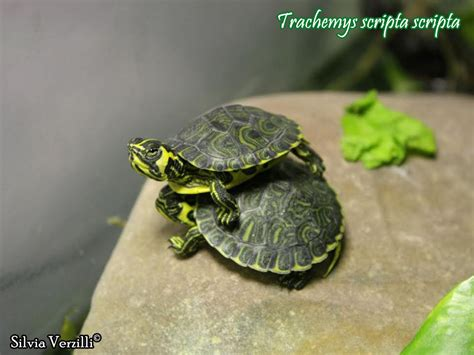 alimentazione trachemys trachemys scripta scheda riassuntiva tartapedia