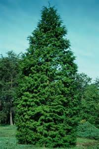 arborvitae tree pictures facts on arborvitae trees
