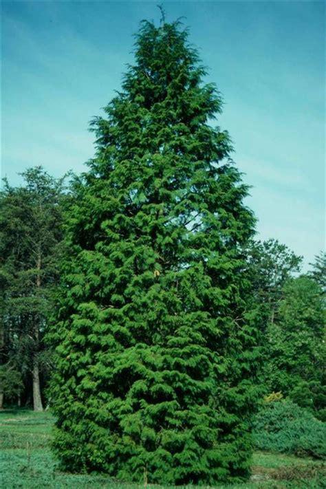 arborvitae tree pictures facts on arborvitae trees
