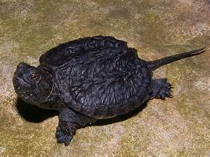 Turtle Baby Bedding Common Snapping Turtles For Sale From The Turtle Source