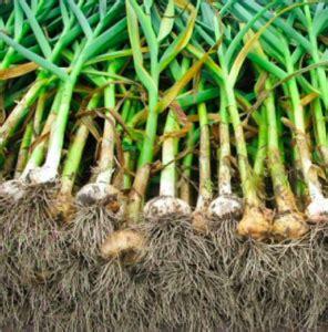 garlic cultivation abc  agri
