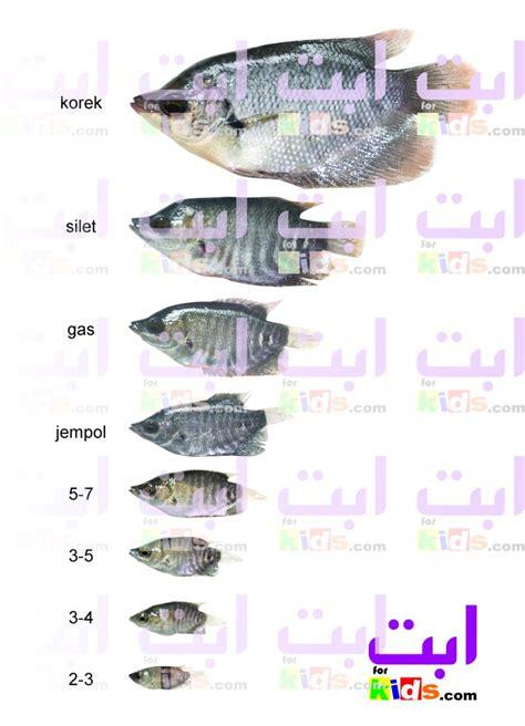 Bibit Ikan Gurame Yogyakarta benih dan telur ikan gurami benih ikan dan bibit tanaman