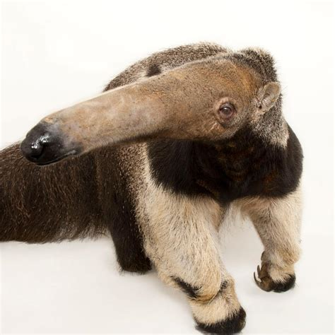 giant anteater national geographic