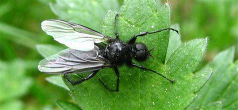 grote zwarte vliegen in huis maartse vlieg of sint marcus vlieg behoort tot de zwarte