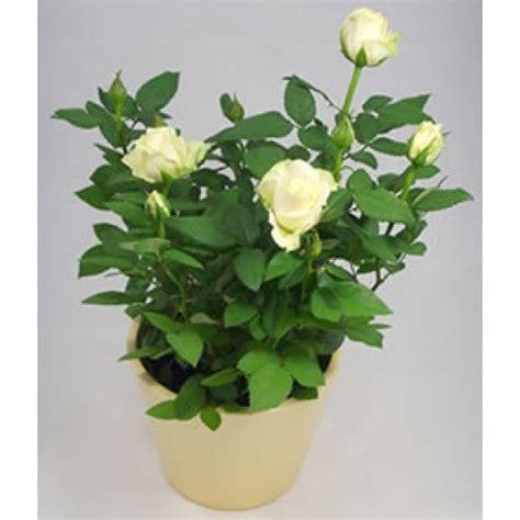 Jual Bibit Bunga benih mawar putih white