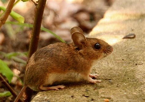 Garden Mouse by Wood Mouse Apodemus Sylvaticus Animals In An